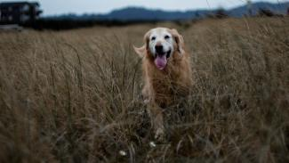 Old golden retriever in field