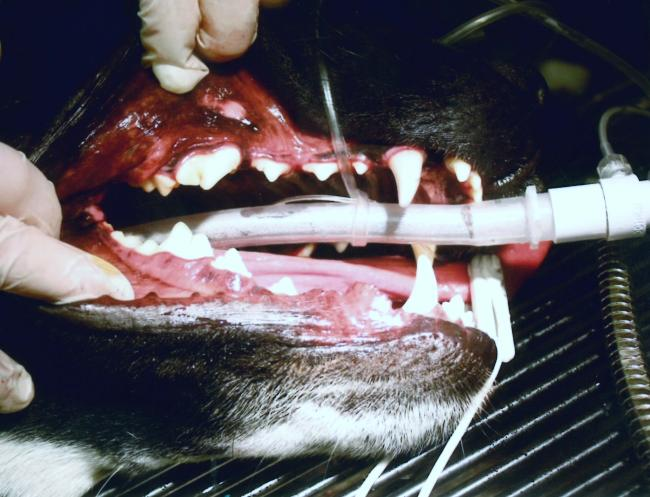 Dog mouth after dental with white teeth