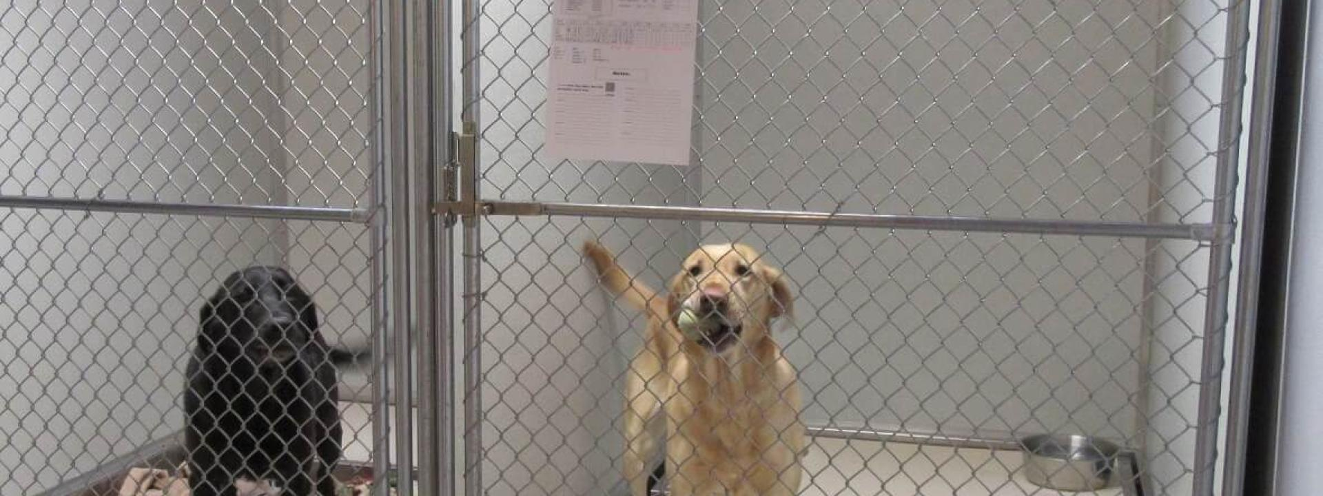 Two labs in kennel